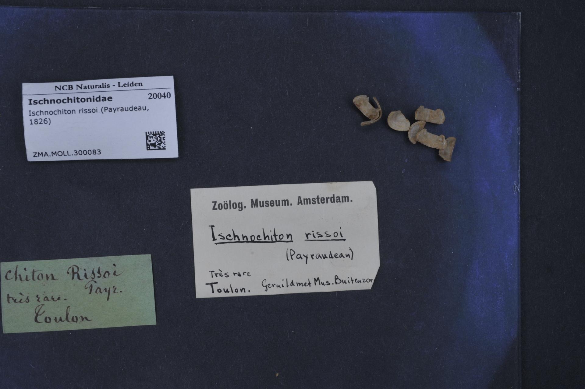 ZMA.MOLL.300083 | Ischnochiton rissoi (Payraudeau, 1826)