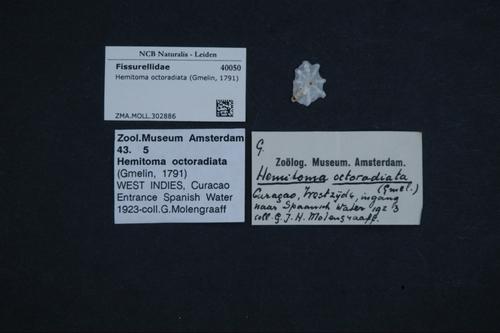 Hemitoma octoradiata image