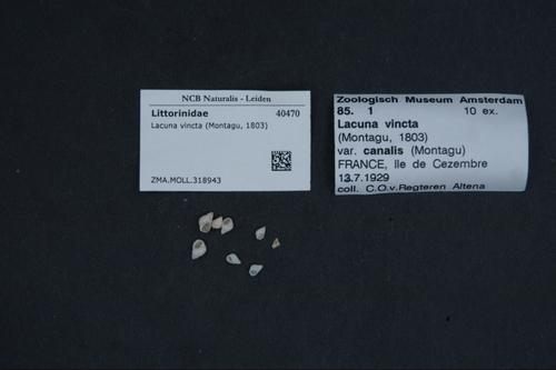 Lacuna vincta image