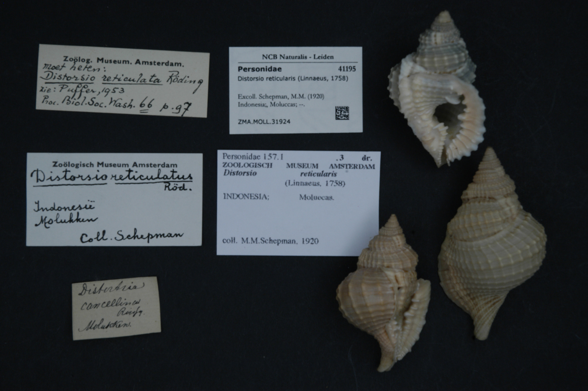 ZMA.MOLL.31924   Distorsio reticularis (Linnaeus, 1758)