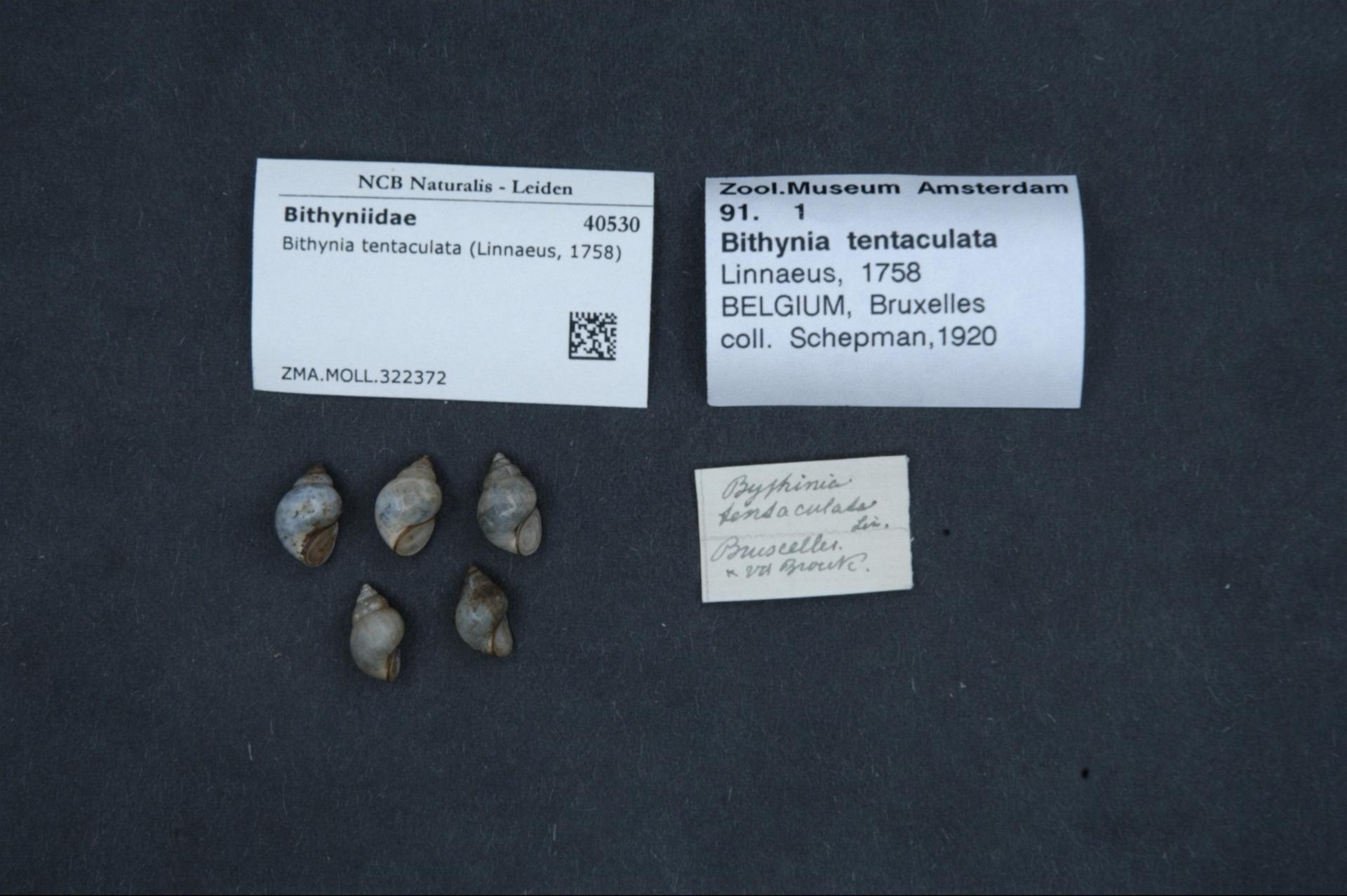 ZMA.MOLL.322372 | Bithynia tentaculata (Linnaeus, 1758)