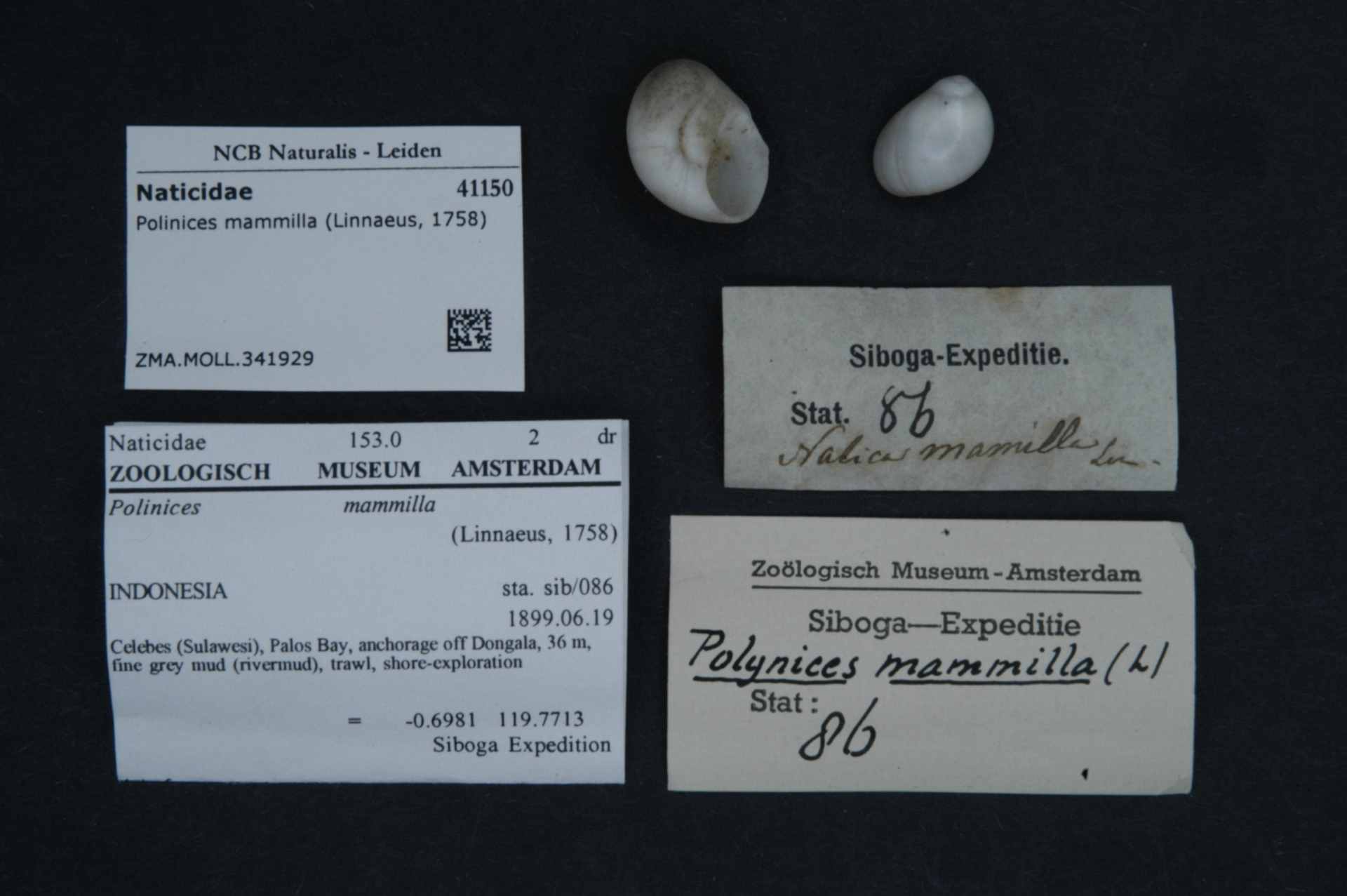 ZMA.MOLL.341929 | Polinices mammilla (Linnaeus, 1758)