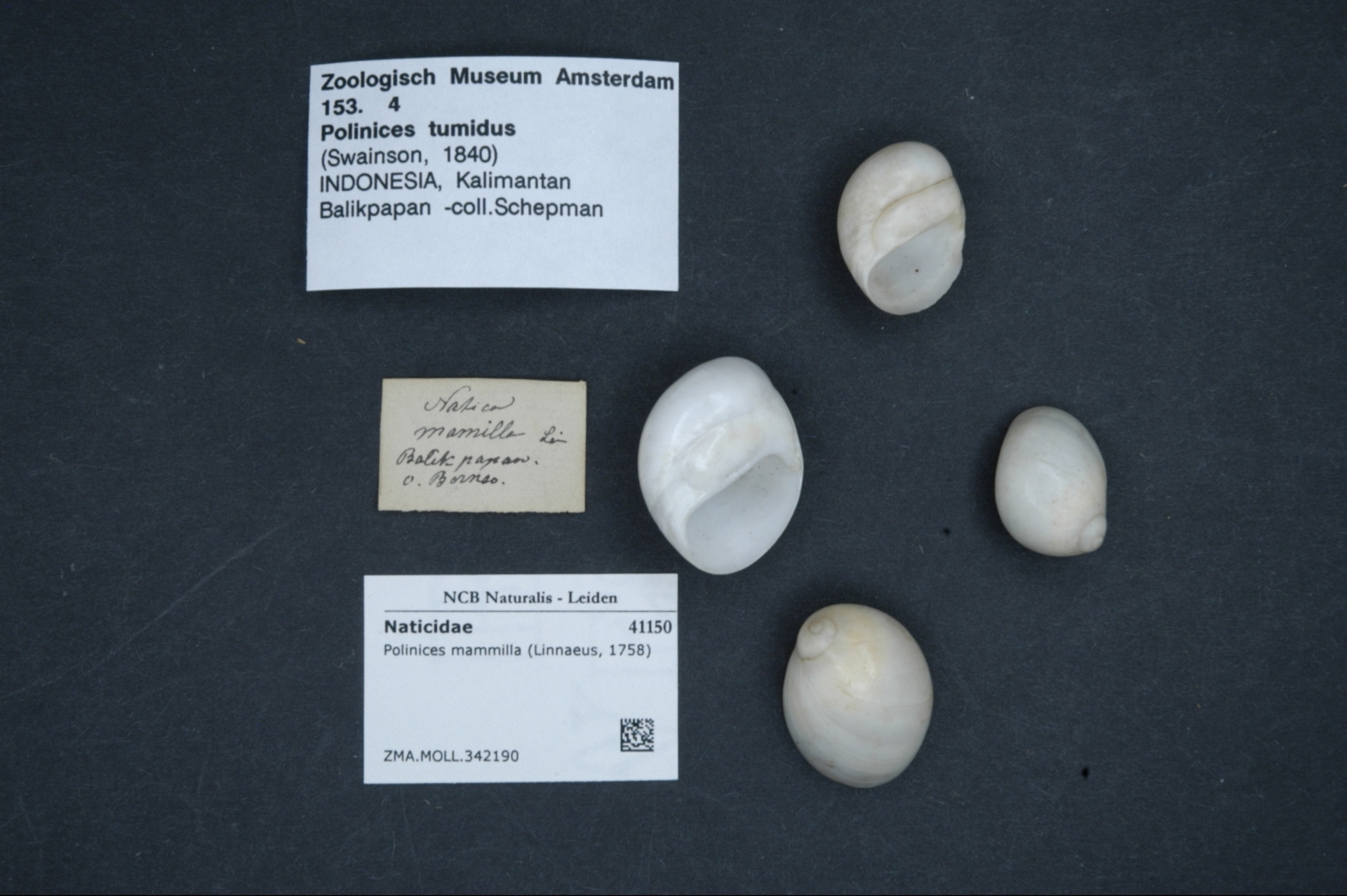 ZMA.MOLL.342190 | Polinices mammilla (Linnaeus, 1758)
