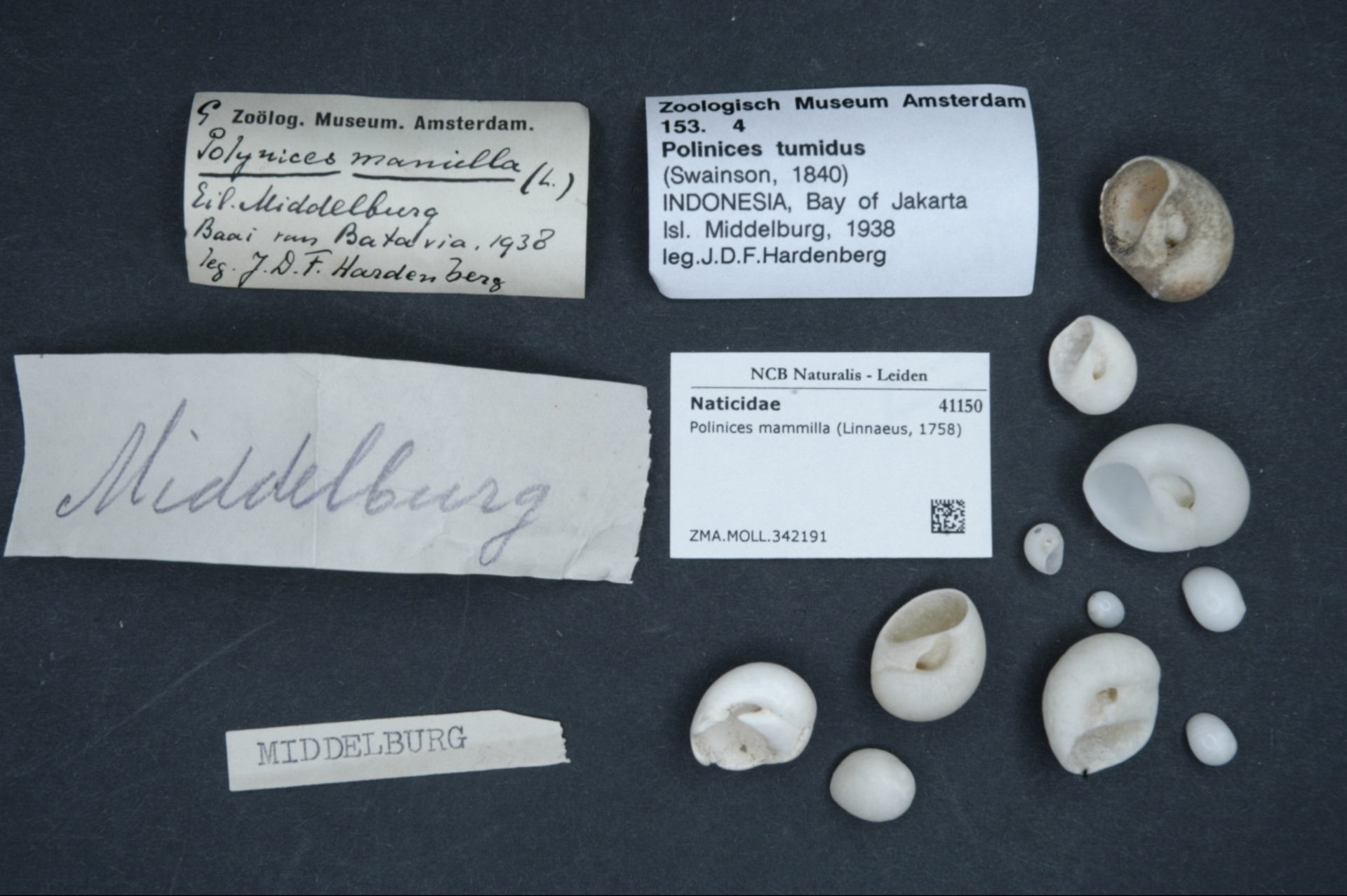 ZMA.MOLL.342191 | Polinices mammilla (Linnaeus, 1758)
