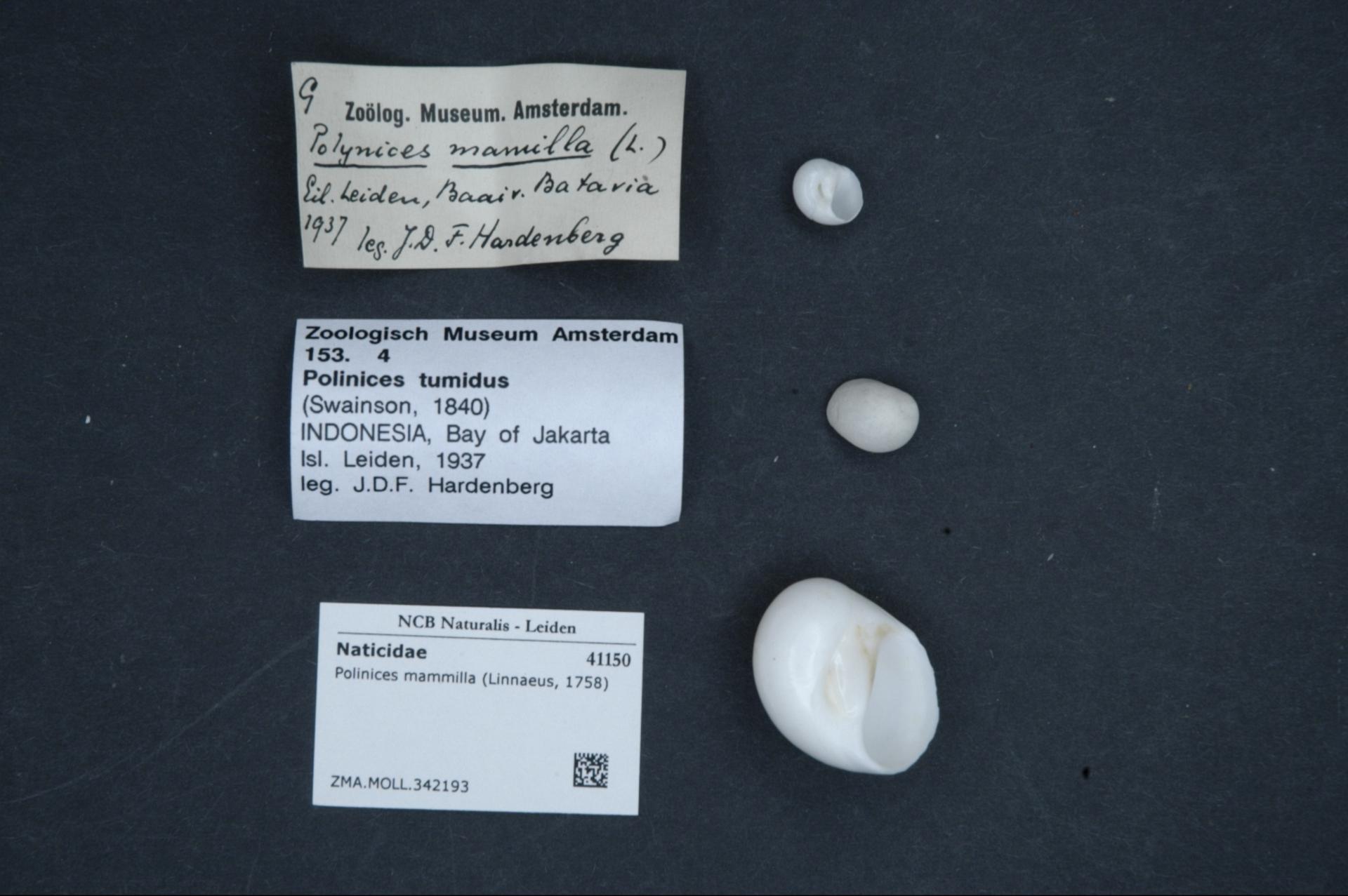 ZMA.MOLL.342193 | Polinices mammilla (Linnaeus, 1758)