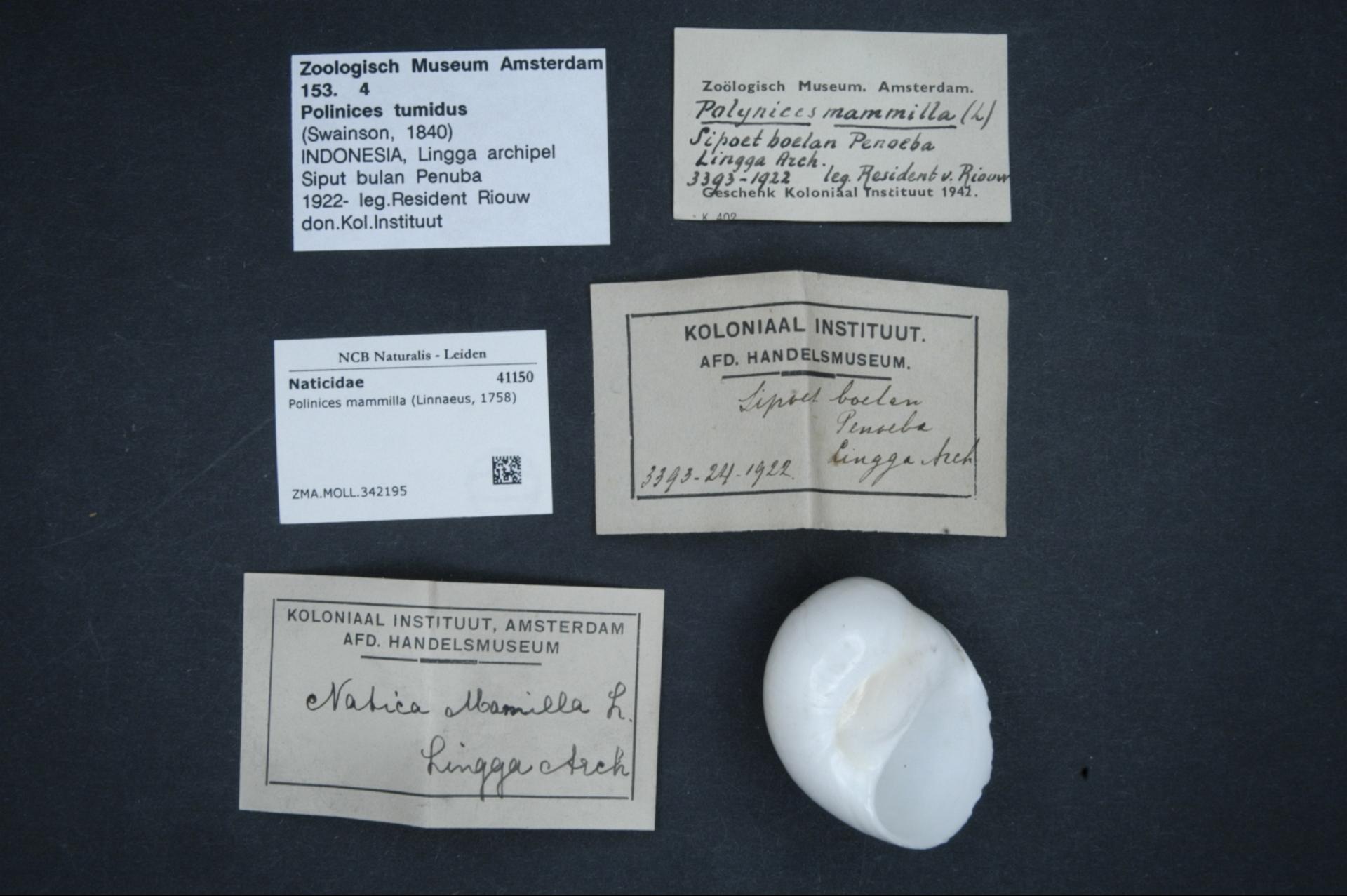ZMA.MOLL.342195 | Polinices mammilla (Linnaeus, 1758)