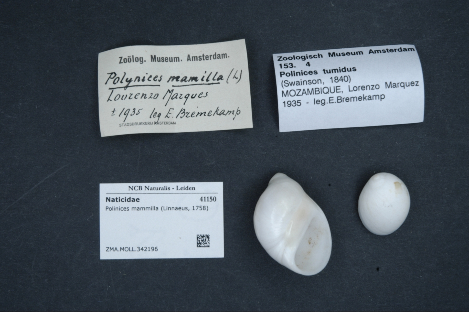 ZMA.MOLL.342196 | Polinices mammilla (Linnaeus, 1758)