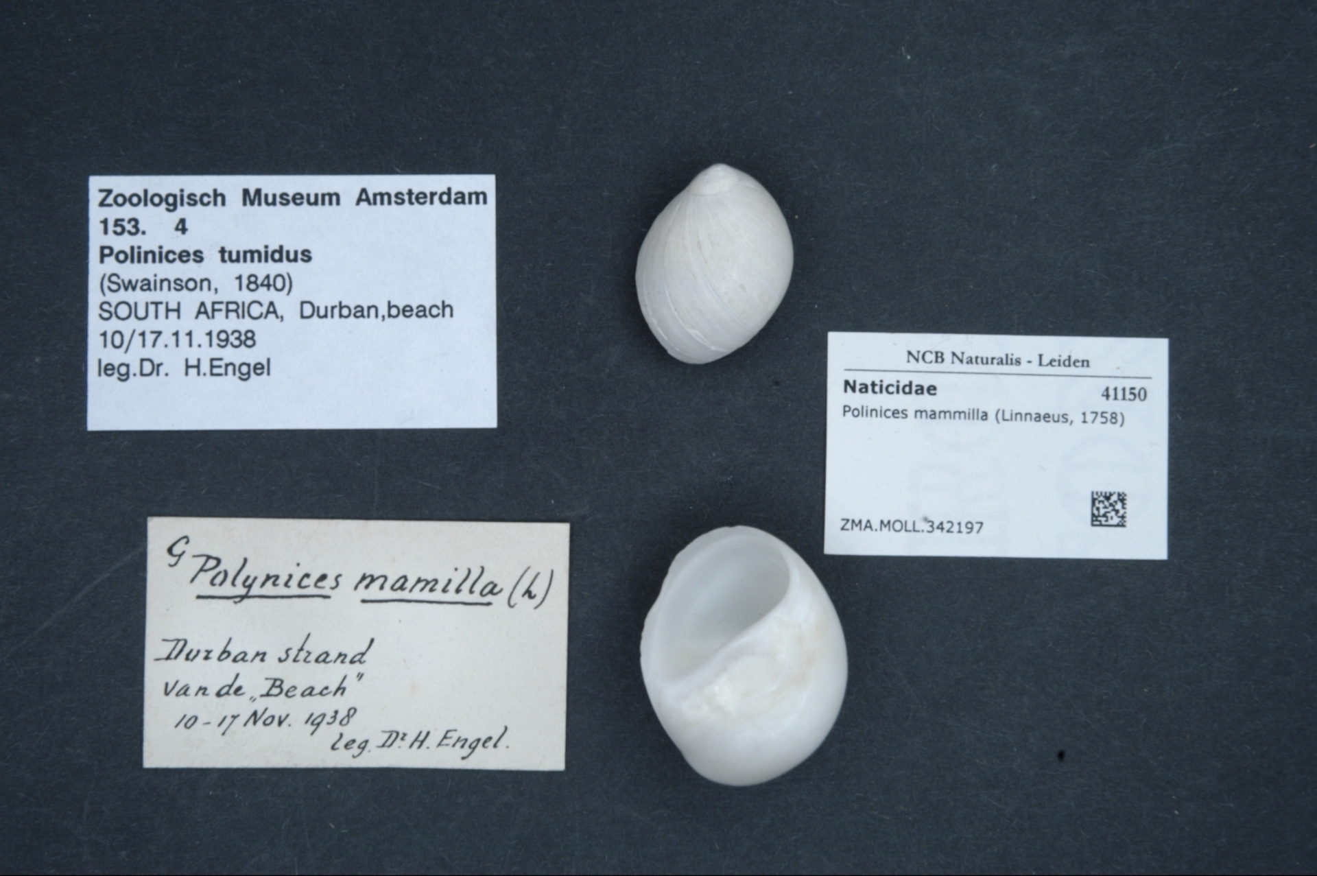 ZMA.MOLL.342197 | Polinices mammilla (Linnaeus, 1758)
