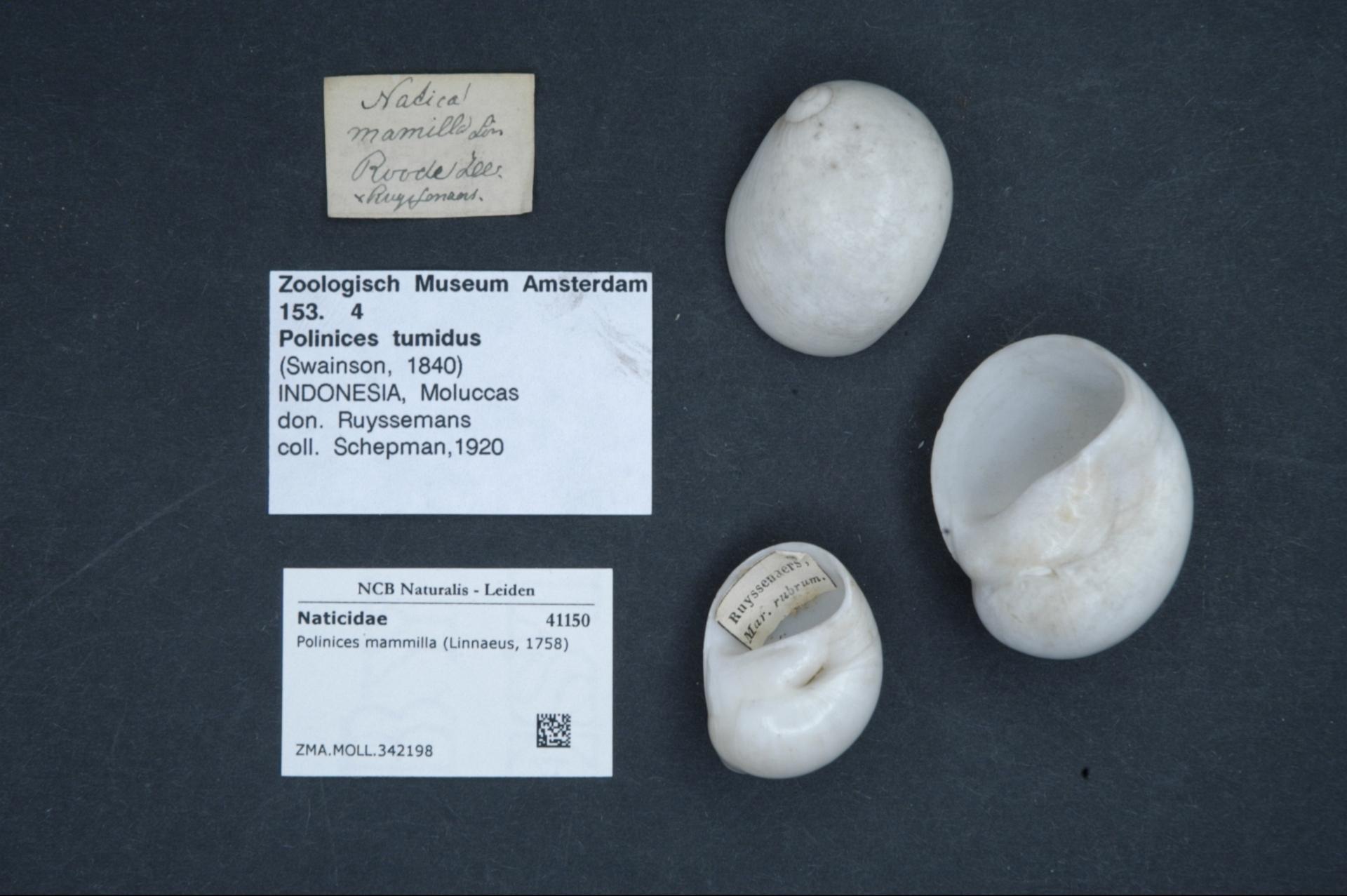 ZMA.MOLL.342198 | Polinices mammilla (Linnaeus, 1758)