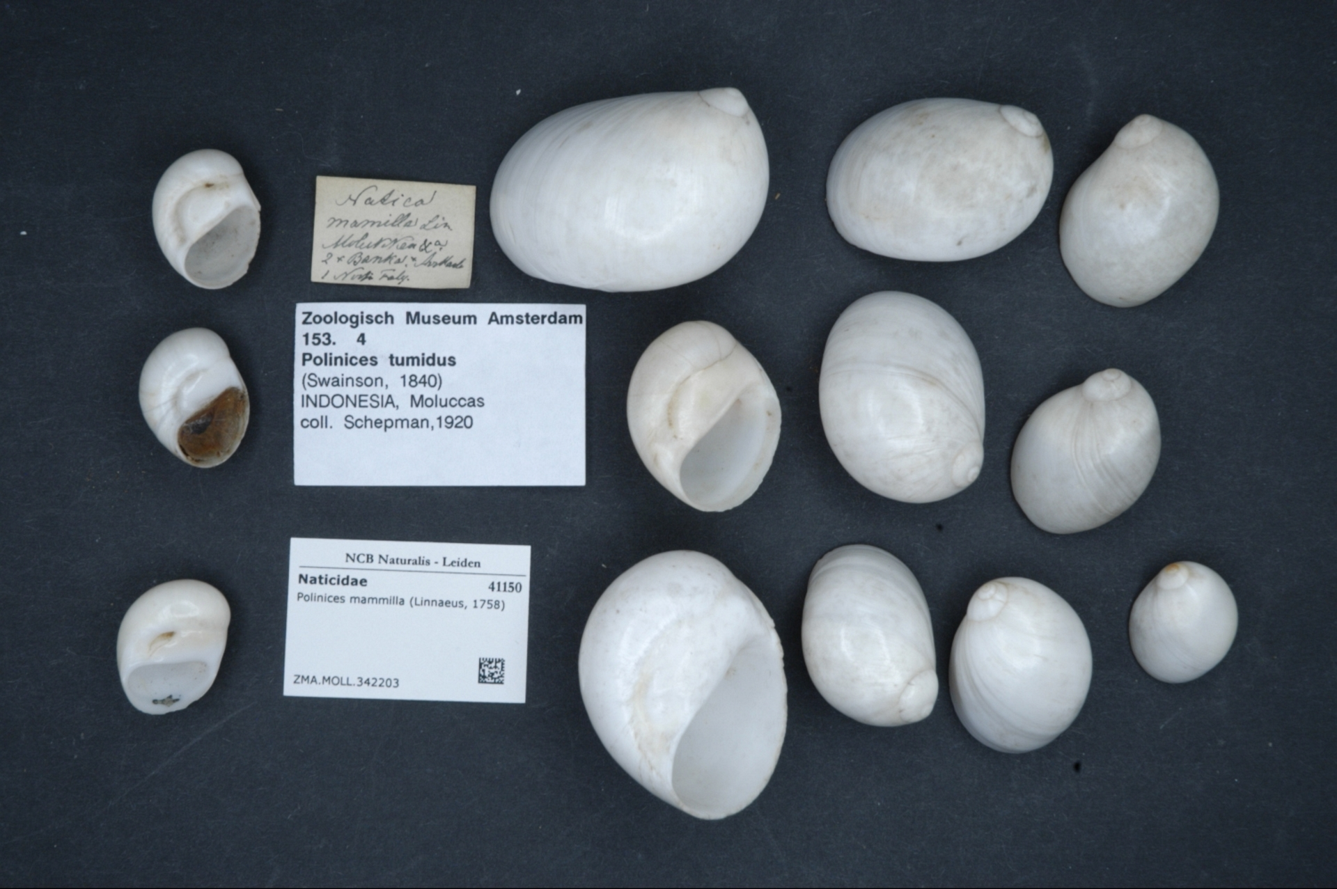 ZMA.MOLL.342203 | Polinices mammilla (Linnaeus, 1758)