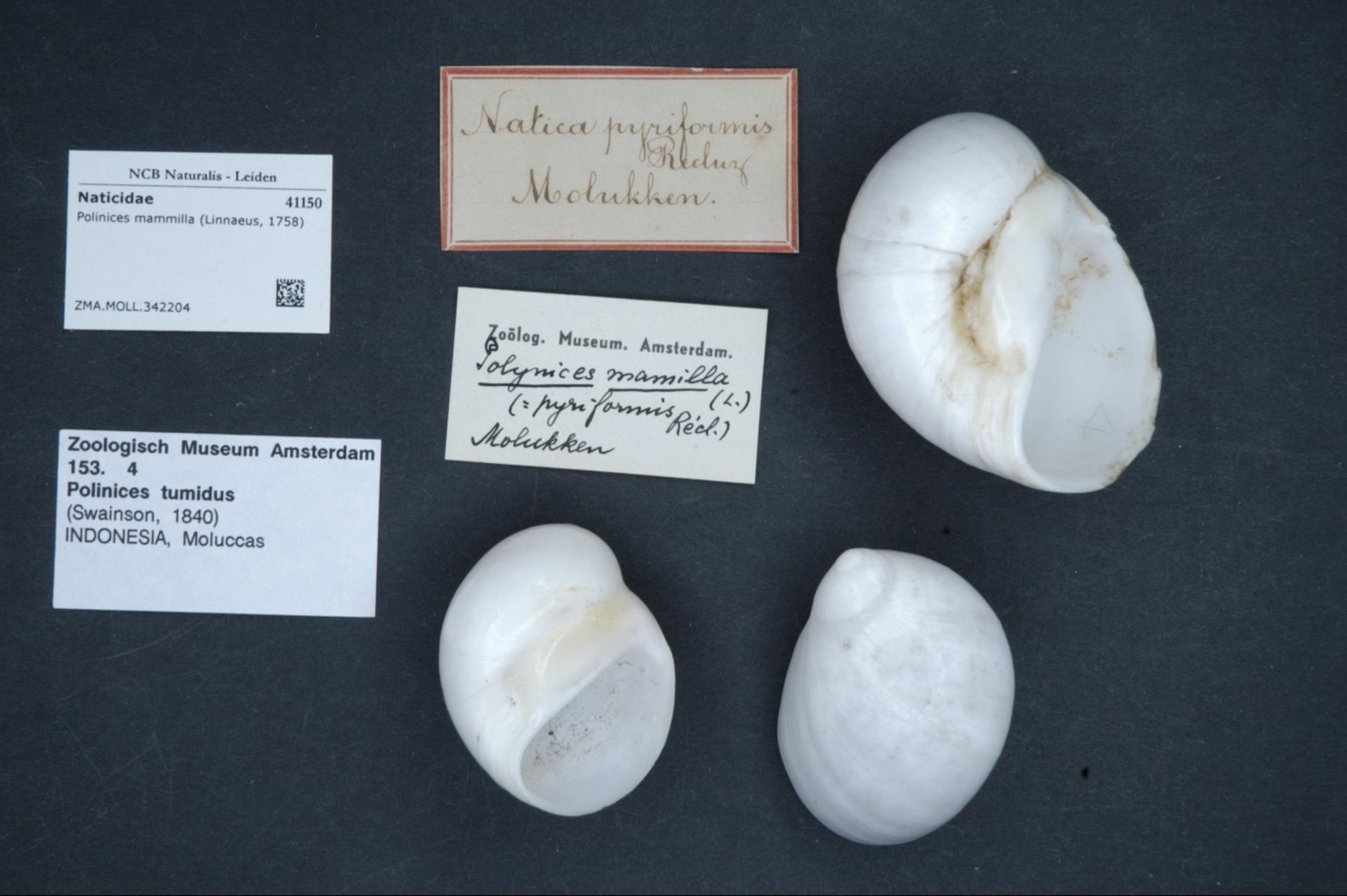 ZMA.MOLL.342204 | Polinices mammilla (Linnaeus, 1758)