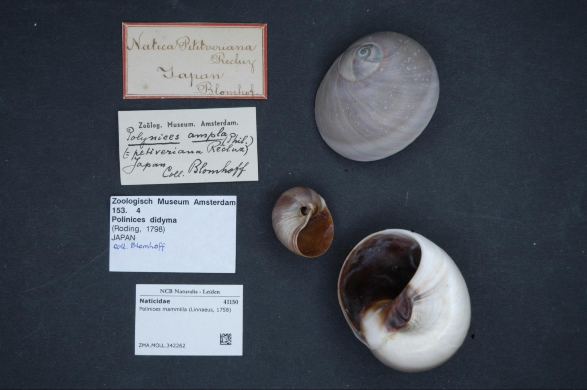 ZMA.MOLL.342262 | Polinices mammilla (Linnaeus, 1758)
