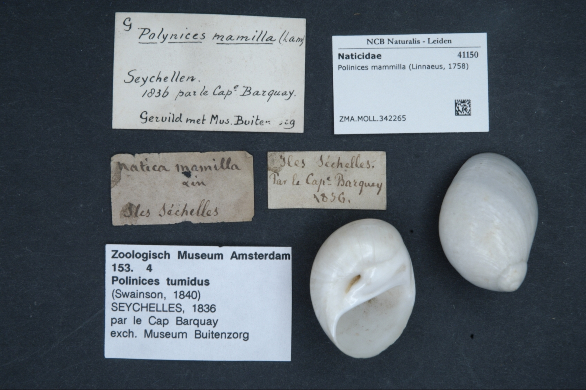 ZMA.MOLL.342265 | Polinices mammilla (Linnaeus, 1758)