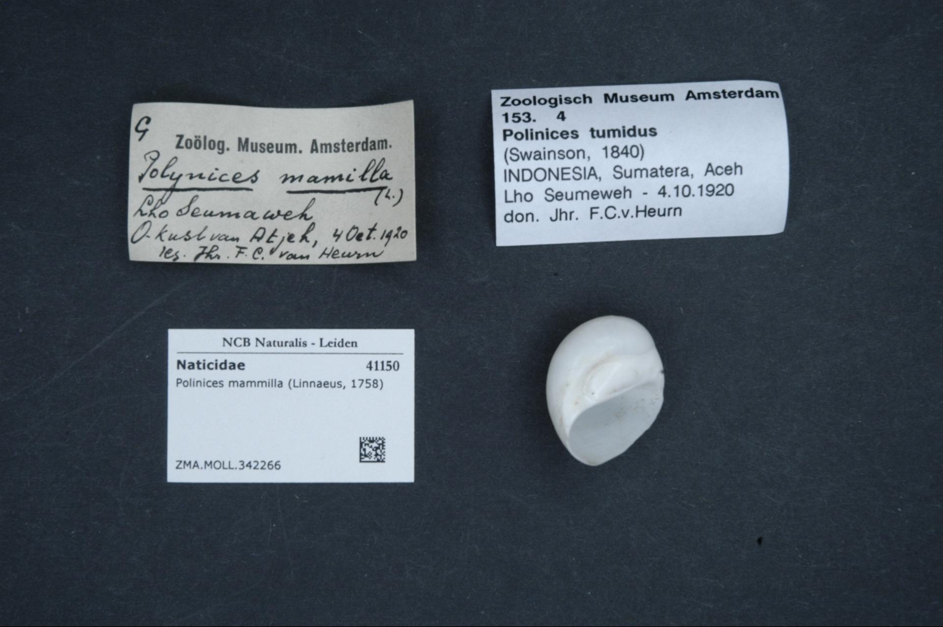 ZMA.MOLL.342266 | Polinices mammilla (Linnaeus, 1758)