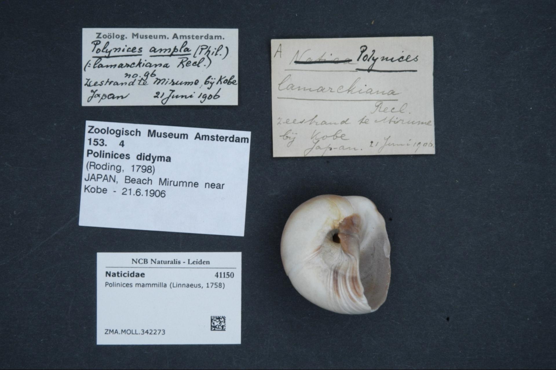 ZMA.MOLL.342273 | Polinices mammilla (Linnaeus, 1758)