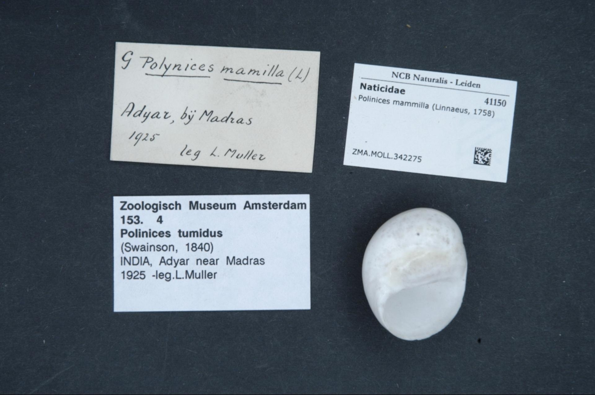 ZMA.MOLL.342275 | Polinices mammilla (Linnaeus, 1758)