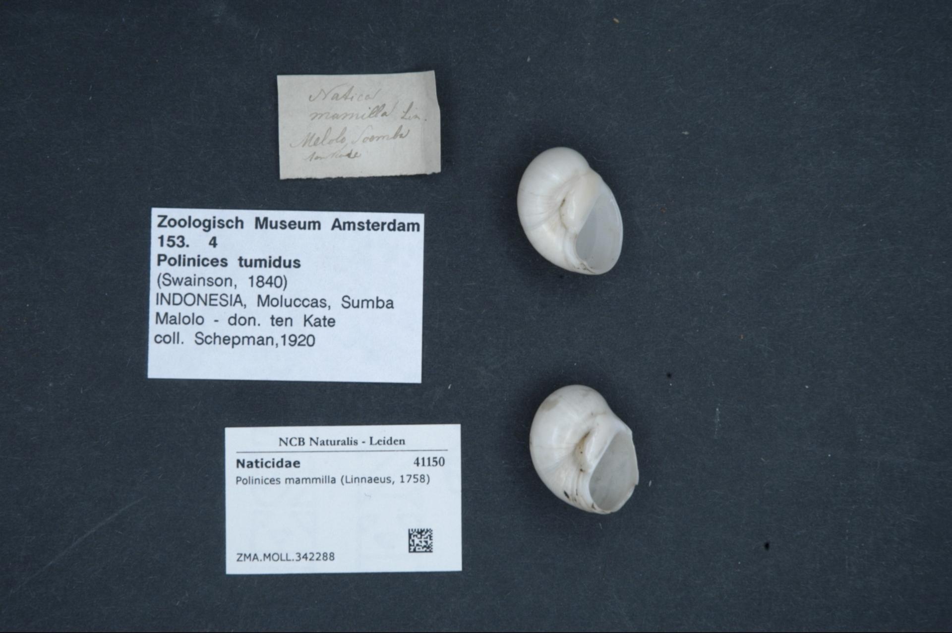 ZMA.MOLL.342288 | Polinices mammilla (Linnaeus, 1758)