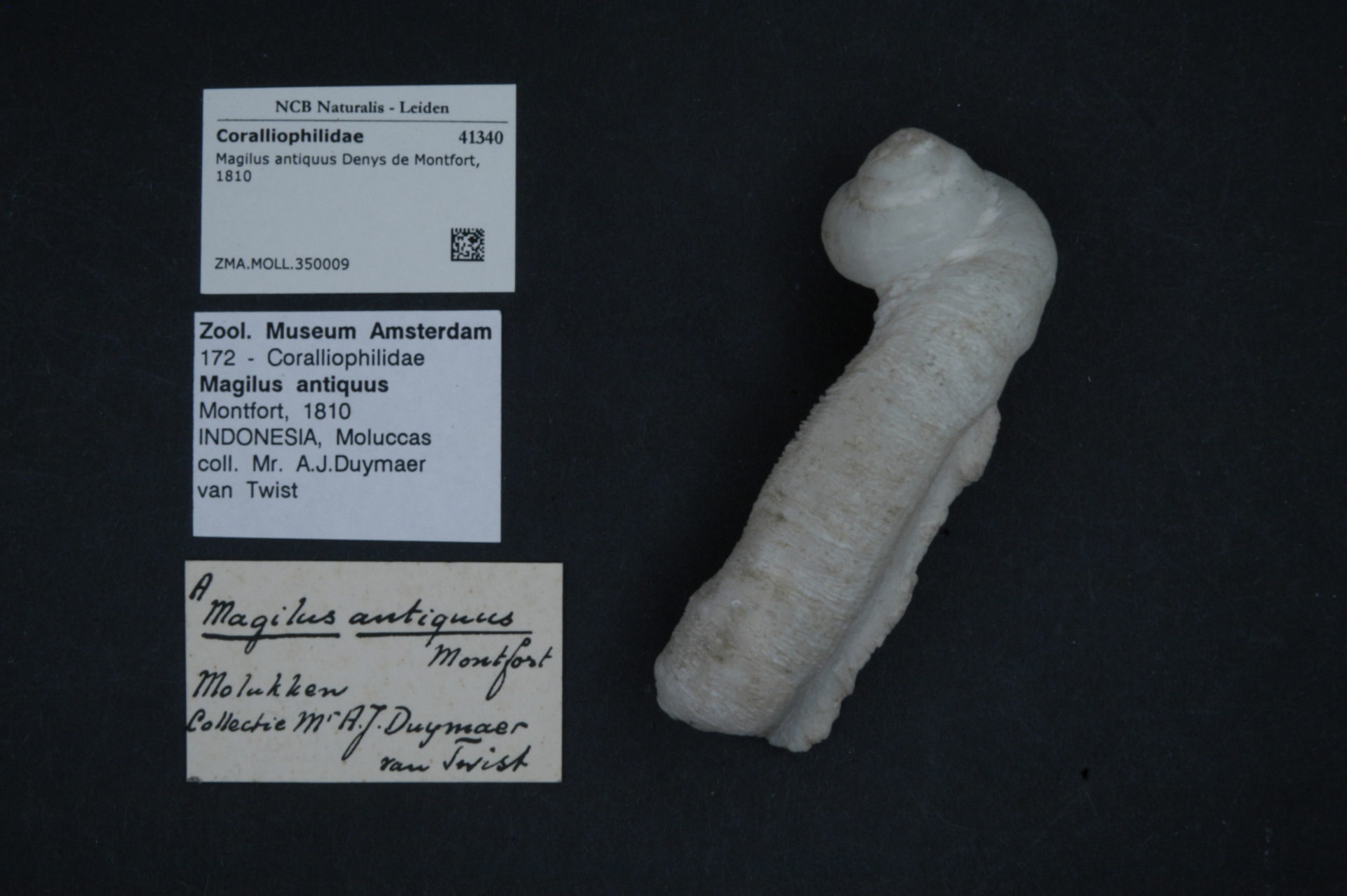 ZMA.MOLL.350009   Magilus antiquus Denys de Montfort, 1810