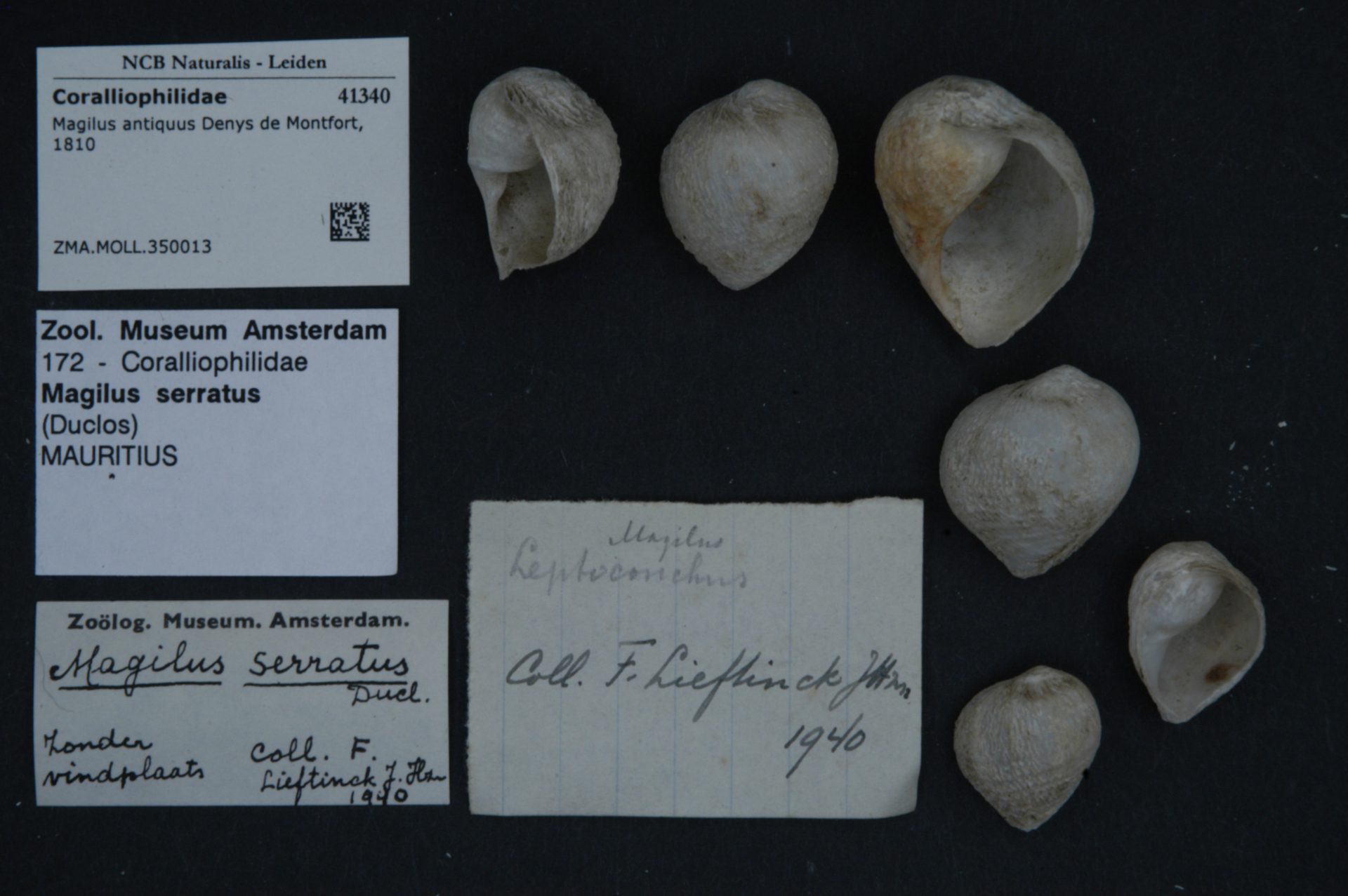 ZMA.MOLL.350013   Magilus antiquus Denys de Montfort, 1810