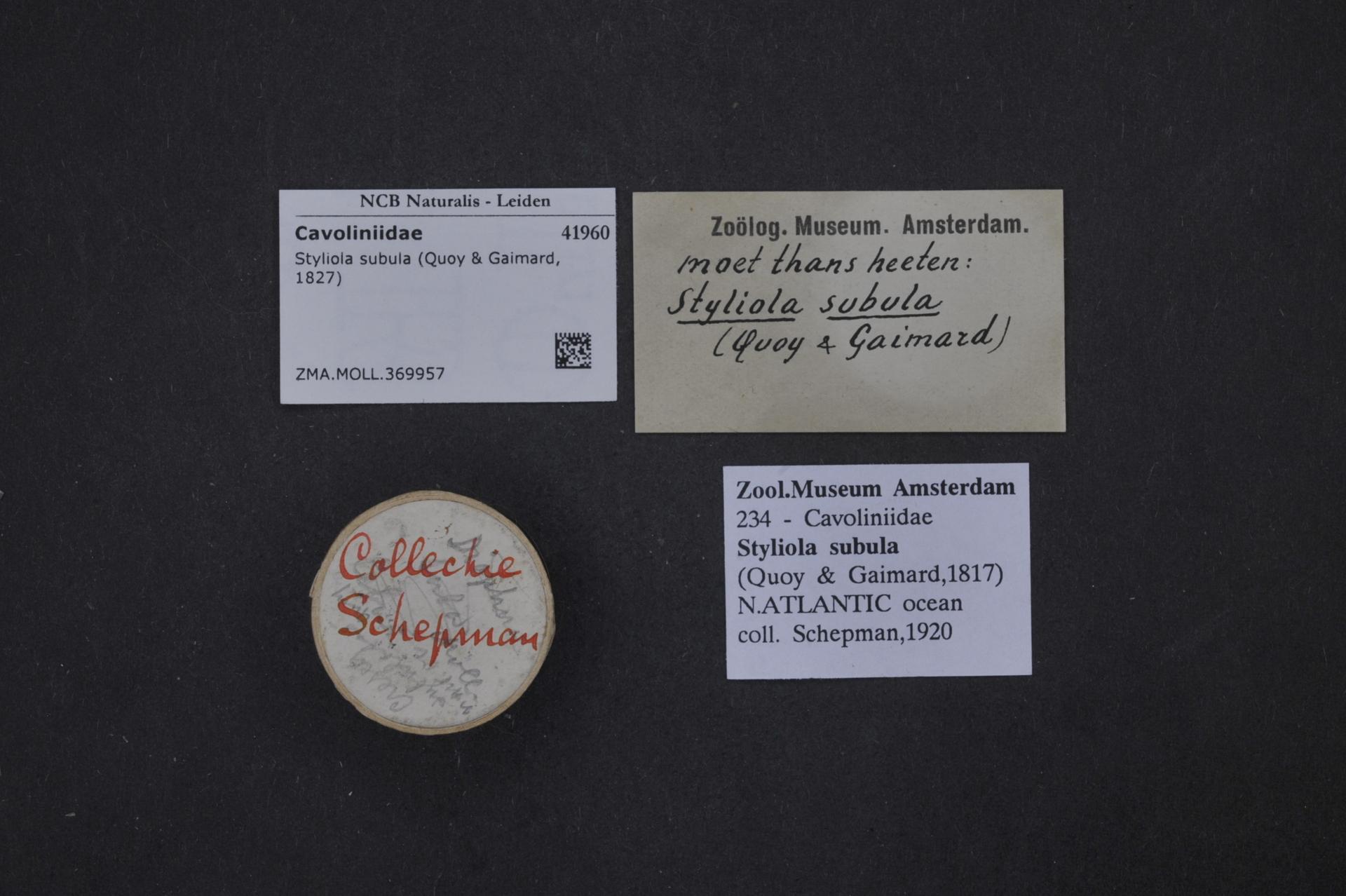 ZMA.MOLL.369957 | Styliola subula (Quoy & Gaimard, 1827)