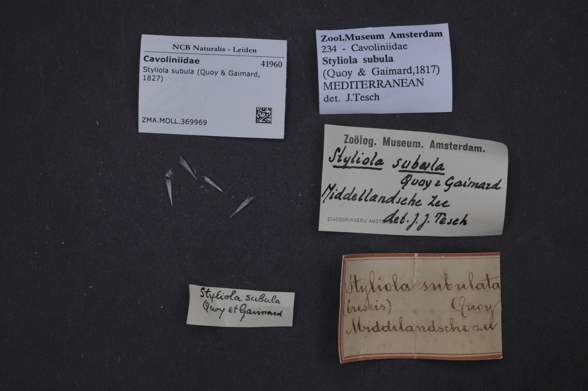 ZMA.MOLL.369969 | Styliola subula (Quoy & Gaimard, 1827)