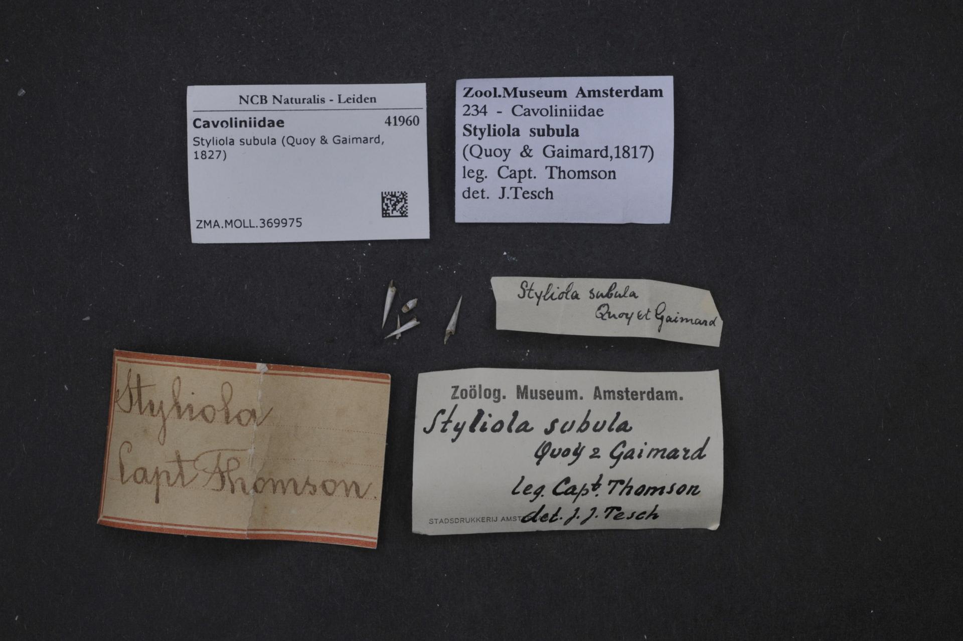 ZMA.MOLL.369975   Styliola subula (Quoy & Gaimard, 1827)