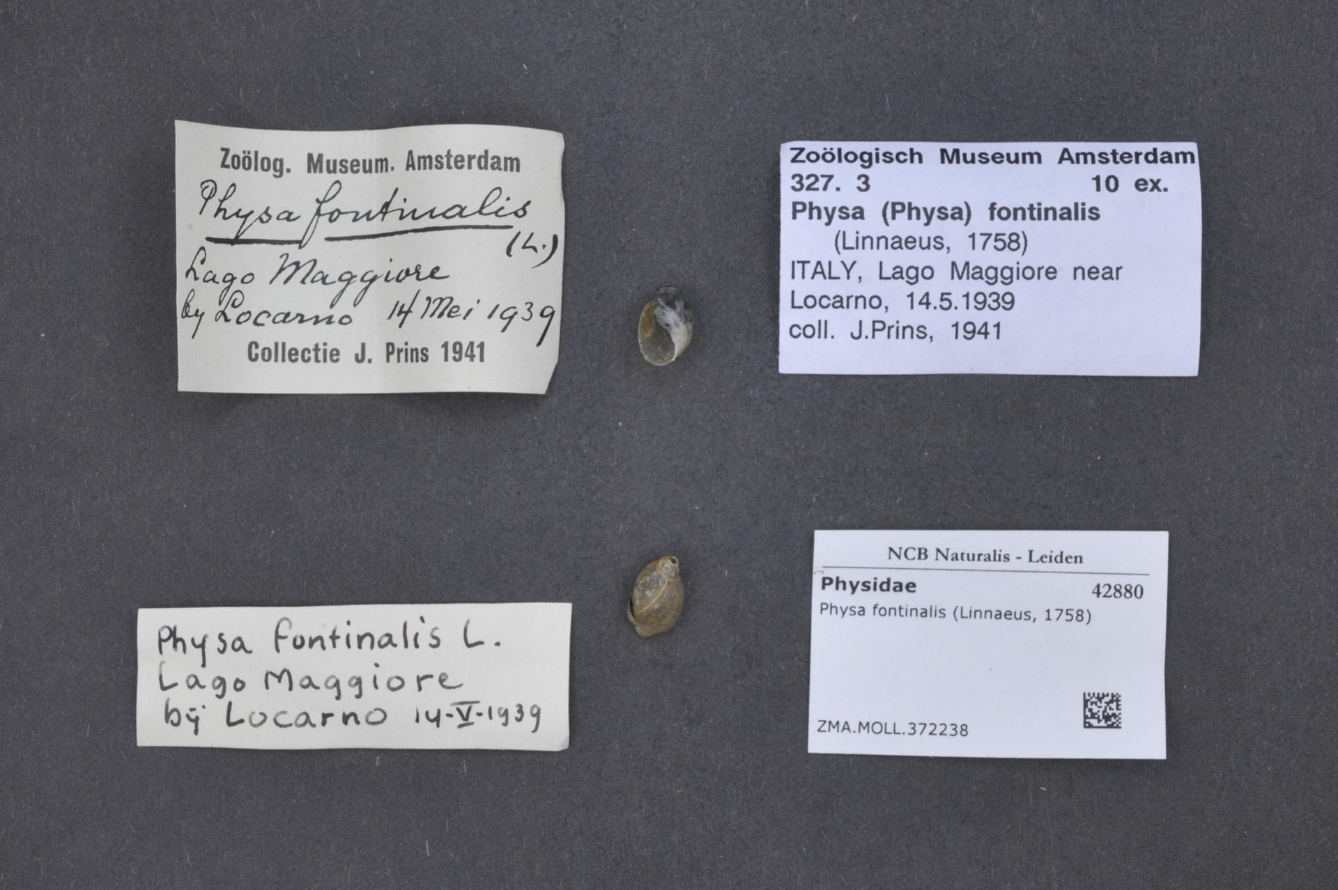 ZMA.MOLL.372238 | Physa fontinalis Linnaeus, 1758