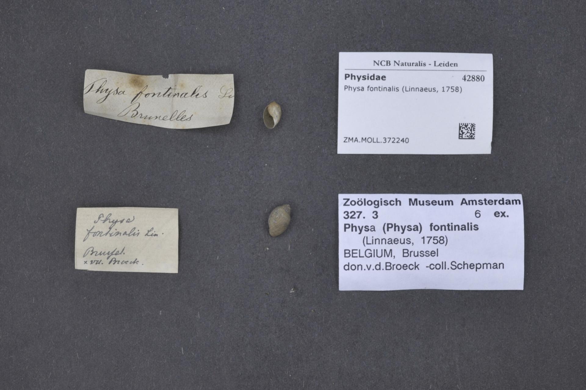ZMA.MOLL.372240 | Physa fontinalis Linnaeus, 1758