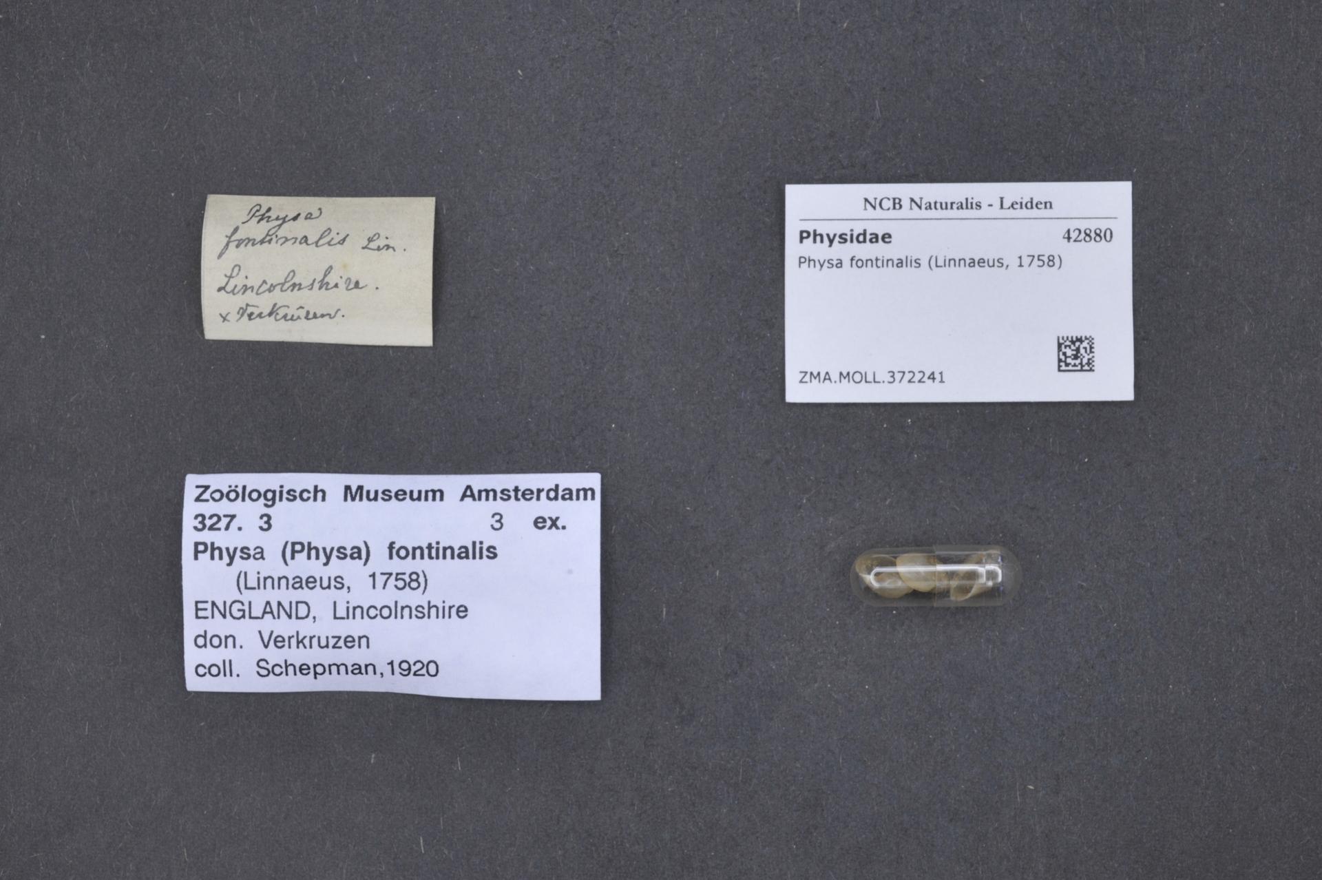 ZMA.MOLL.372241 | Physa fontinalis Linnaeus, 1758