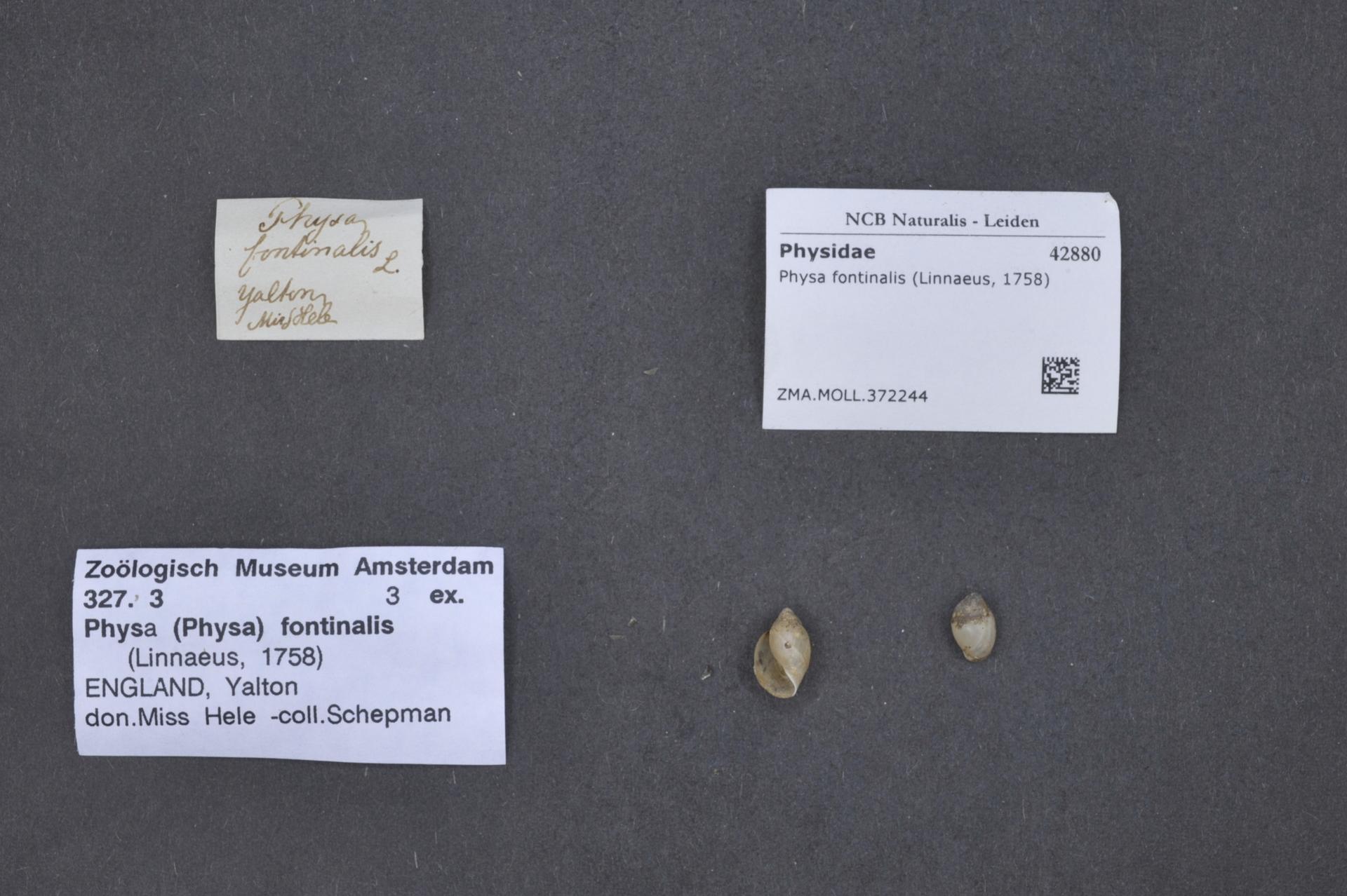 ZMA.MOLL.372244 | Physa fontinalis (Linnaeus, 1758)