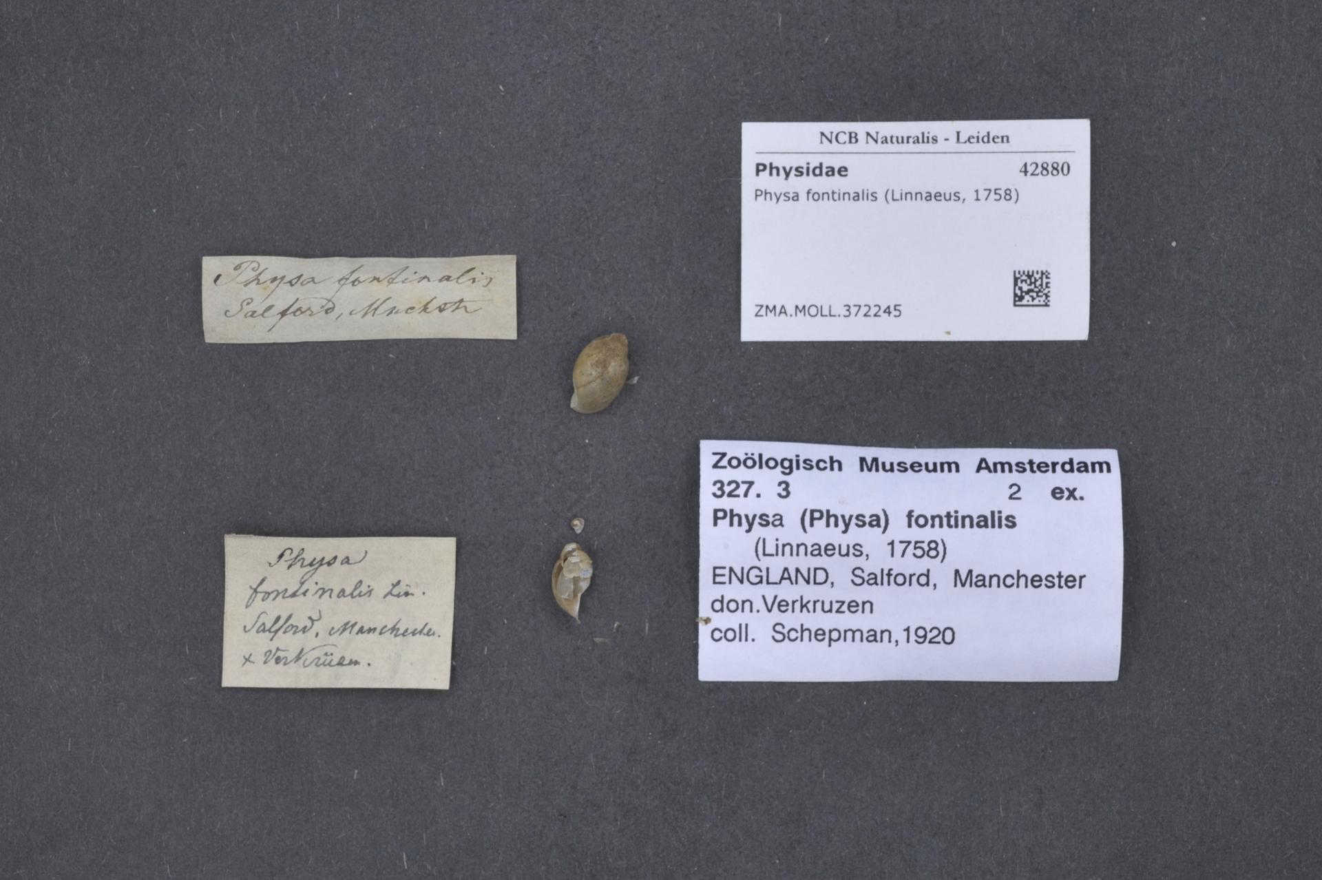 ZMA.MOLL.372245 | Physa fontinalis Linnaeus, 1758