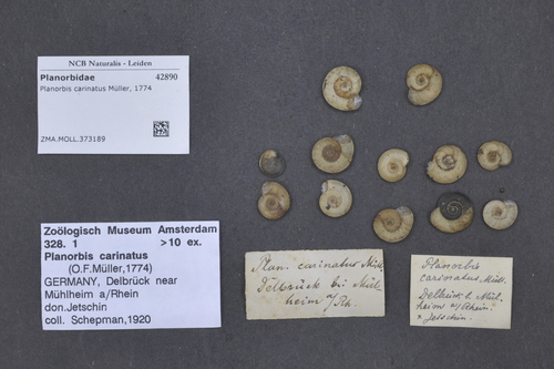 Planorbis carinatus image