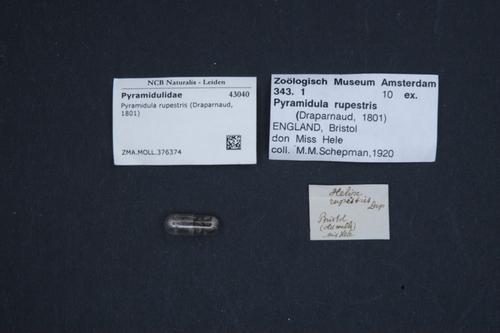 Pyramidula rupestris image