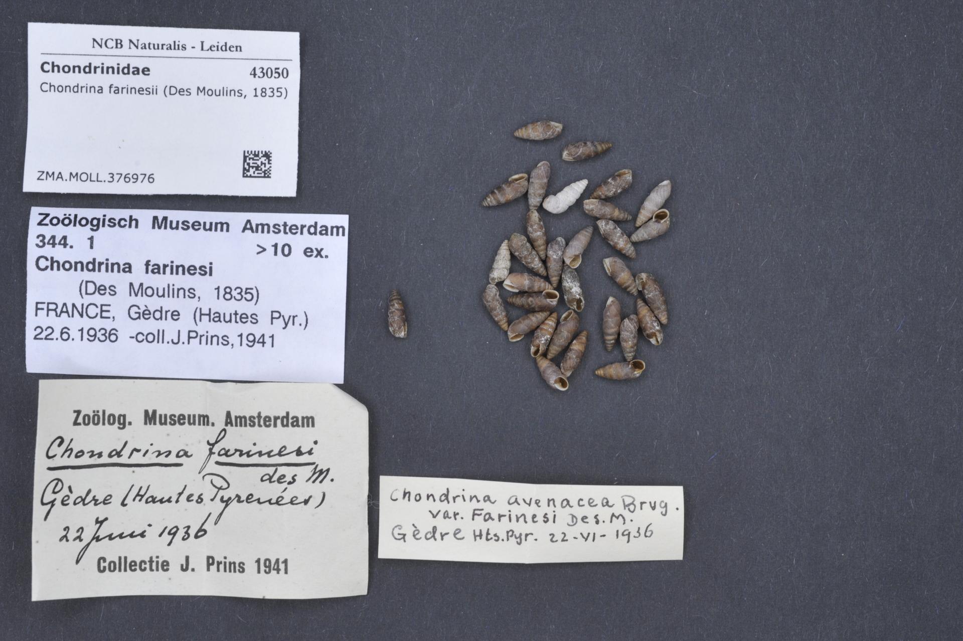 ZMA.MOLL.376976   Chondrina farinesii (Des Moulins, 1835)