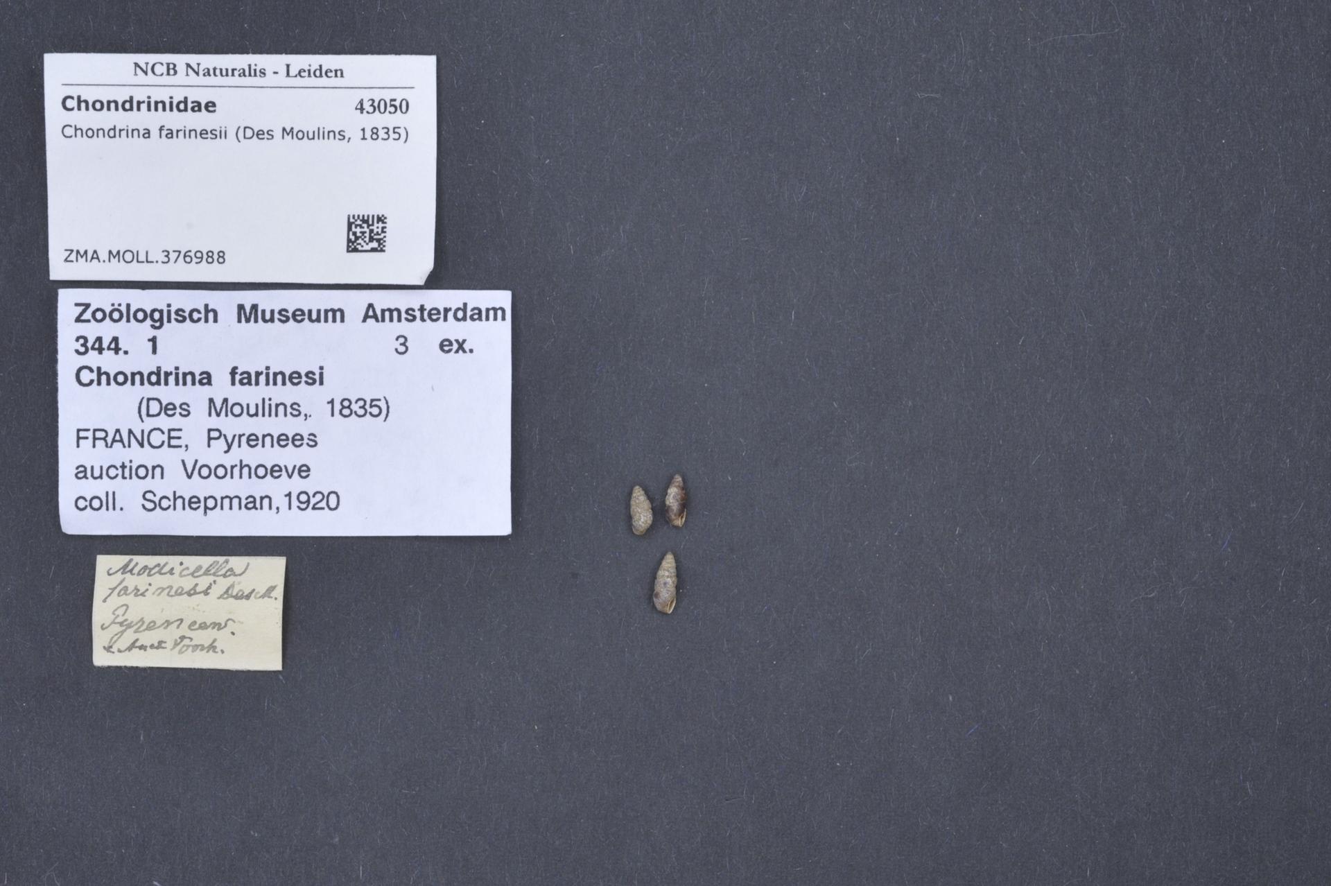 ZMA.MOLL.376988 | Chondrina farinesii (Des Moulins, 1835)