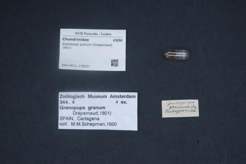Granopupa granum image