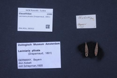 Laciniaria plicata image