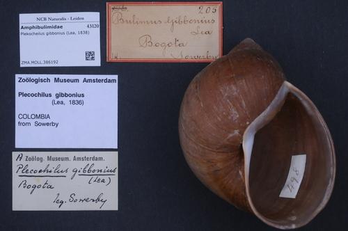 Plekocheilus gibbonius image