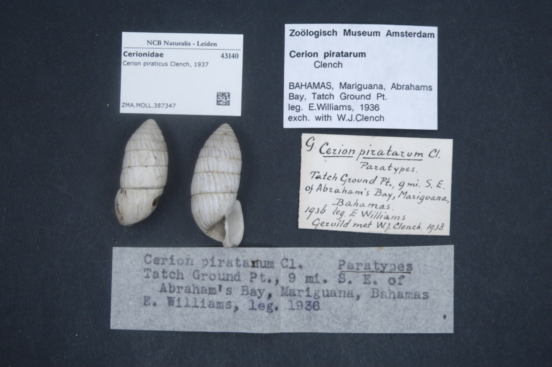 ZMA.MOLL.387347   Cerion (Strophiops) piraticus Clench, 1937