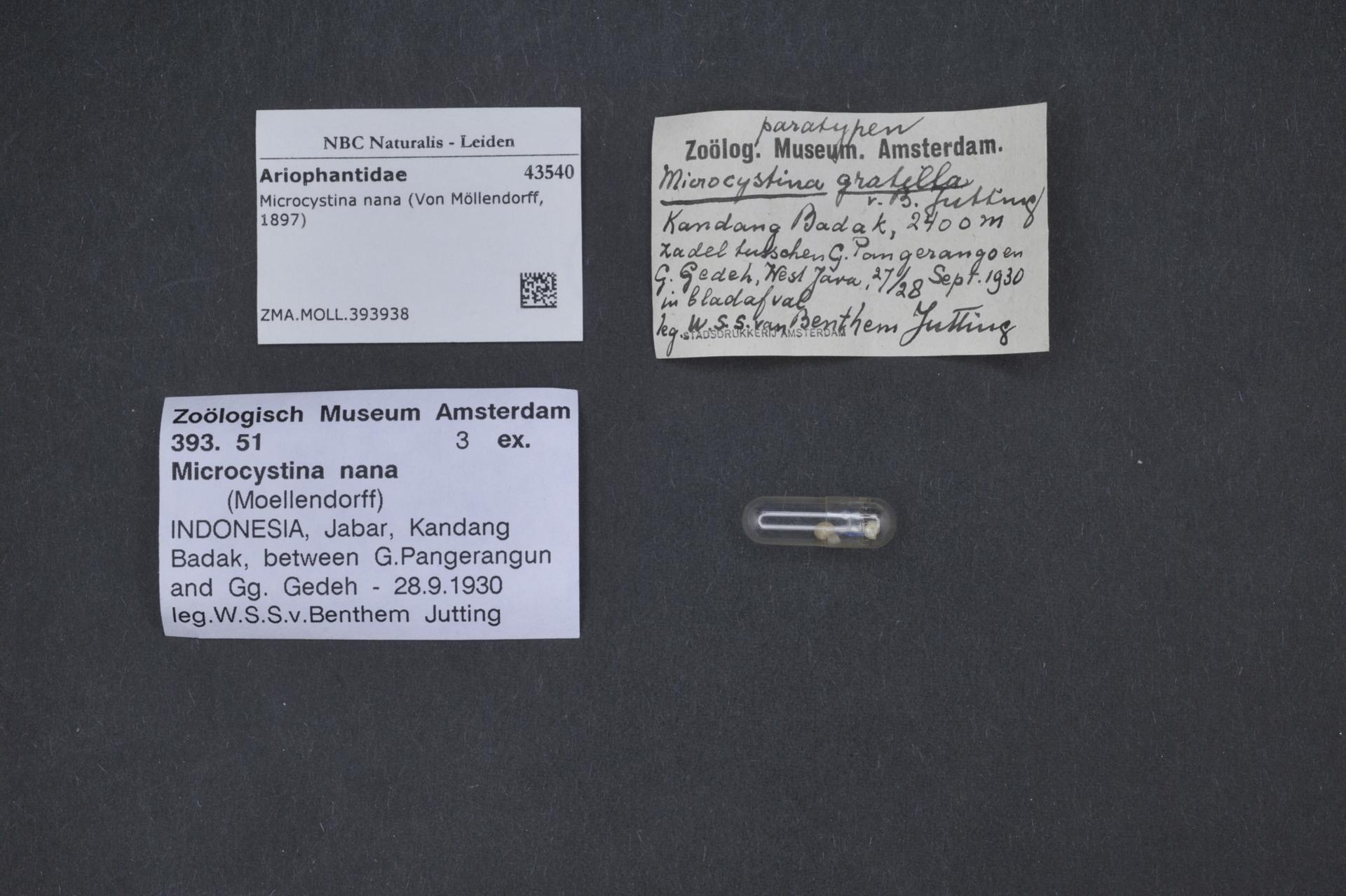 ZMA.MOLL.393938 | Microcystina gratilla Van Benthem Jutting, 1950