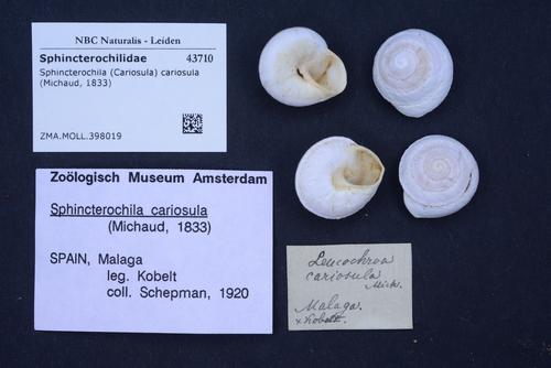 Sphincterochila cariosula image