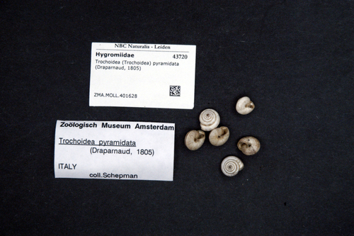 Trochoidea pyramidata image