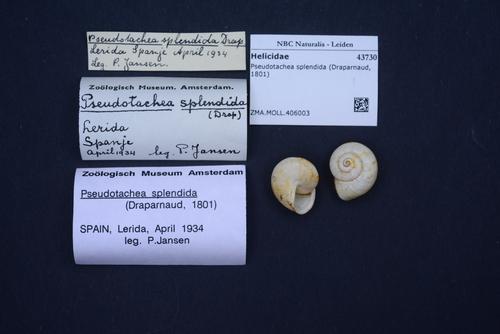 Pseudotachea splendida image