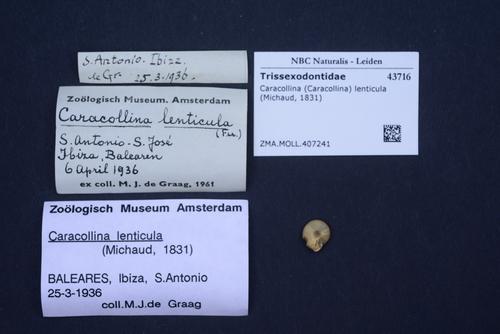 Caracollina lenticula image