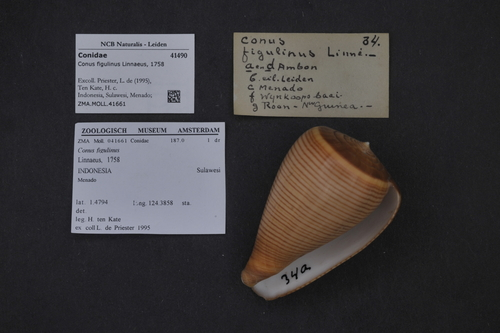 Conus figulinus image