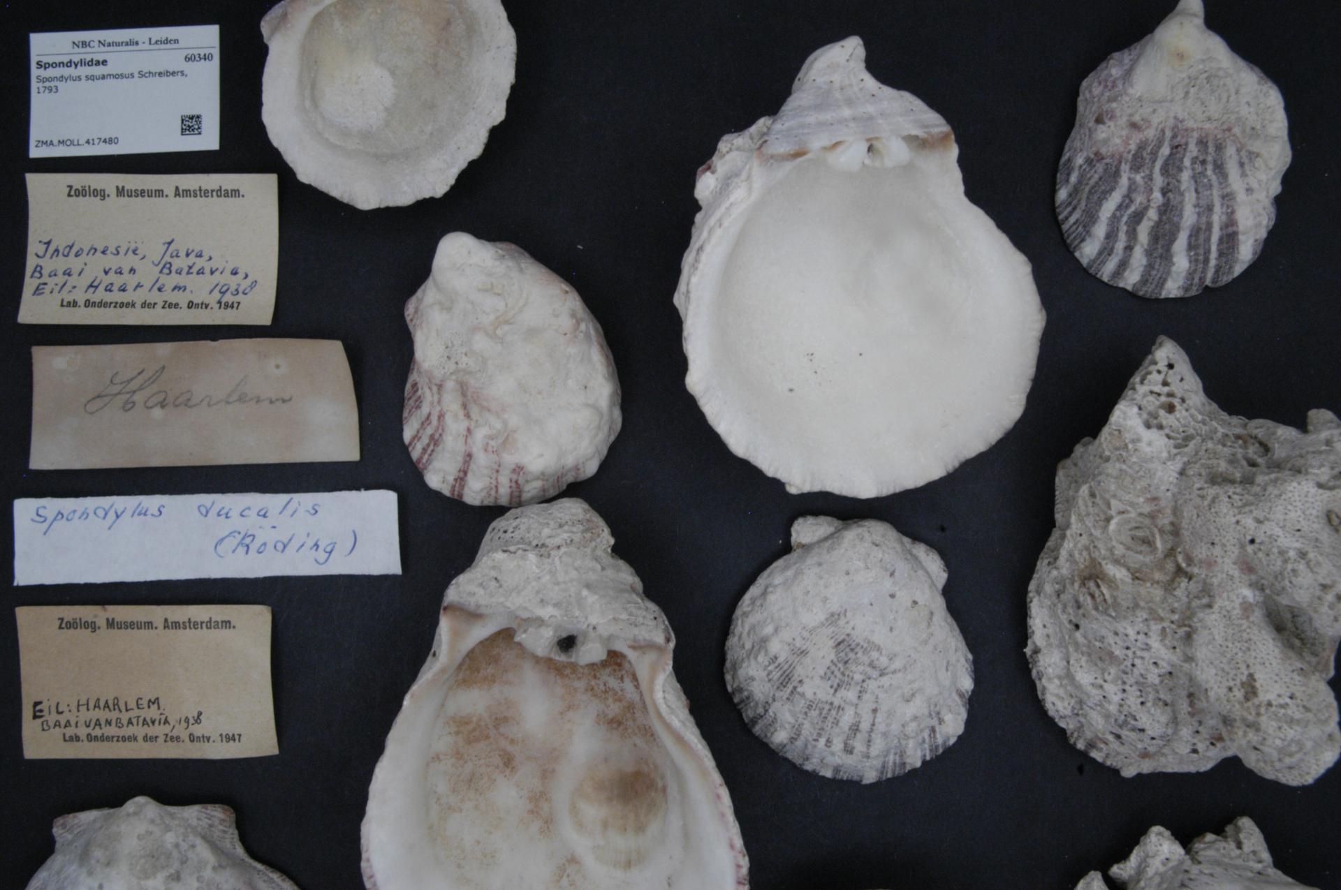 ZMA.MOLL.417480 | Spondylus squamosus Schreibers, 1793