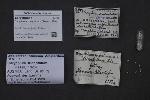 Carychium tridentatum image