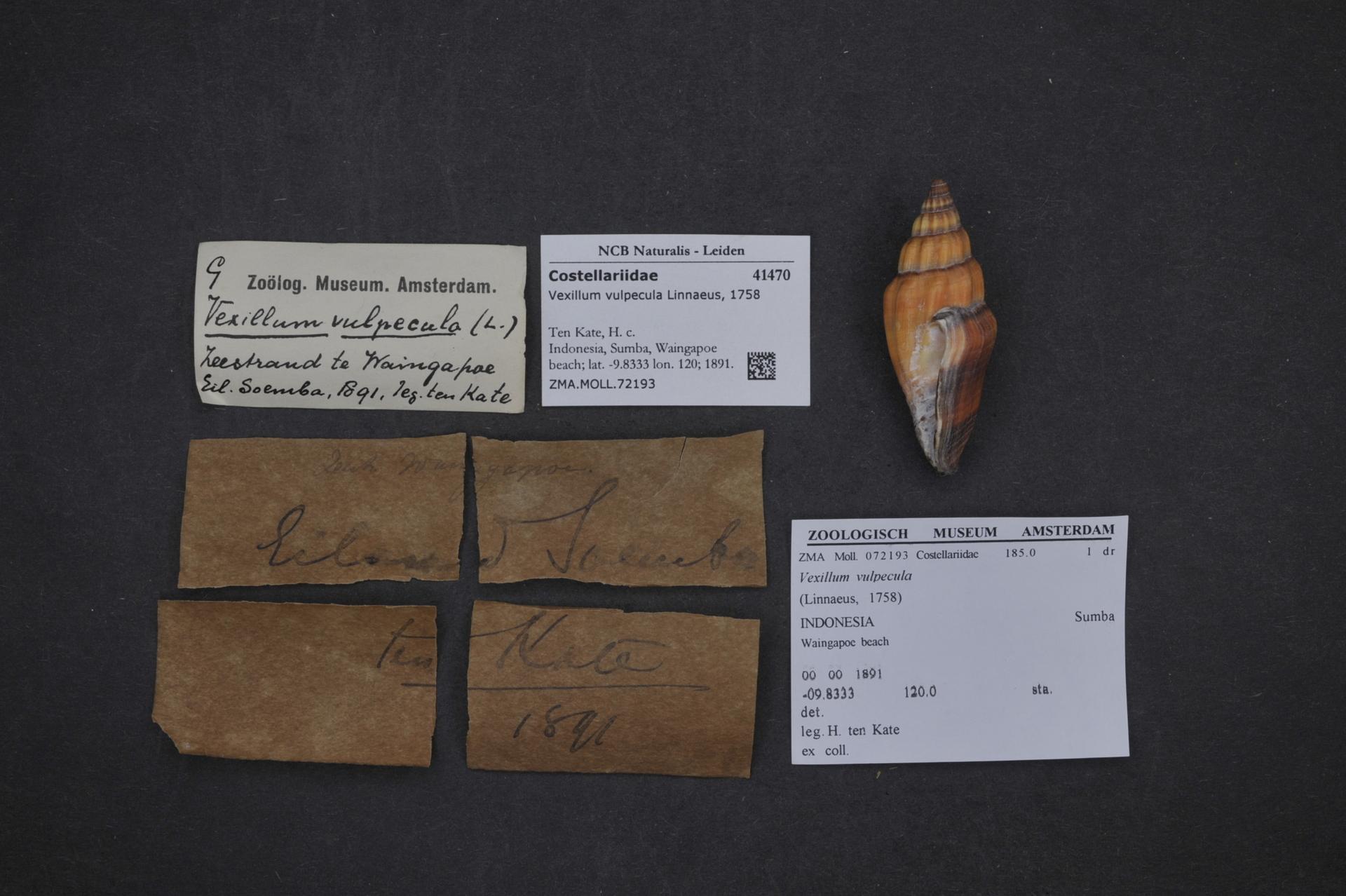 ZMA.MOLL.72193   Vexillum vulpecula (Linnaeus, 1758)