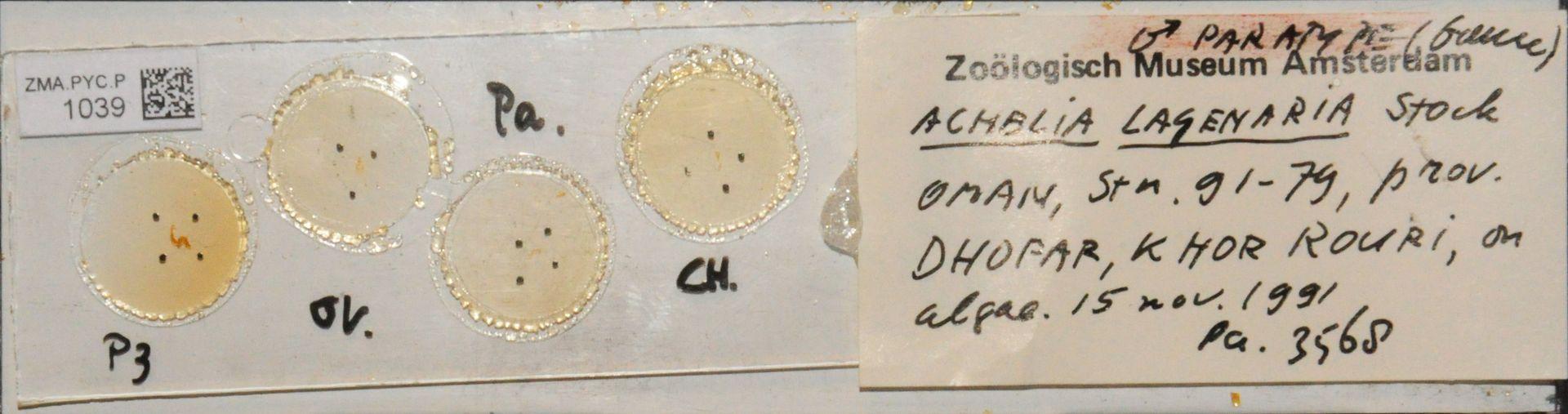 ZMA.PYC.P.1039 | Achelia lagenaria Stock, 1992