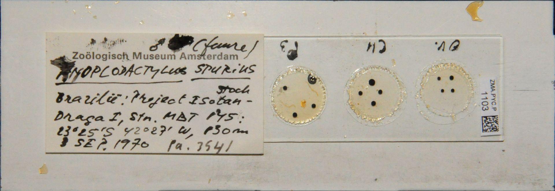 ZMA.PYC.P.1103 | Anoplodactylus spurius Stock